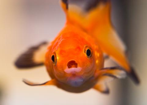 goldfish-salt01