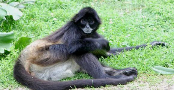 新種の類人猿?「モノス」とは?...