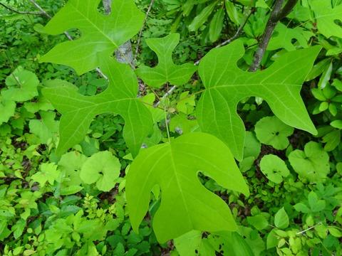 4・ユリノキの葉