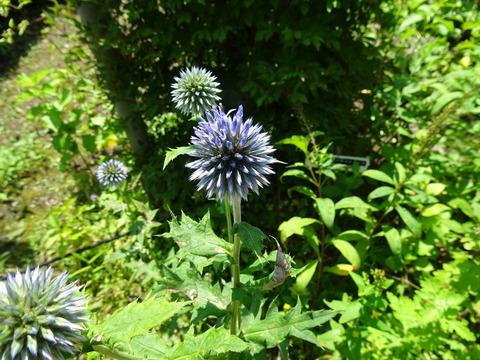 ルリタマアザミの青い花DSC02836