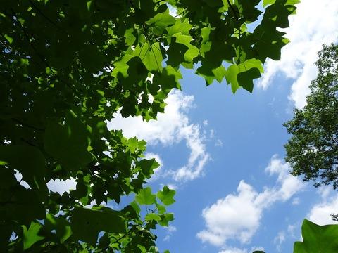 ユリノキ越しの青空DSC02835
