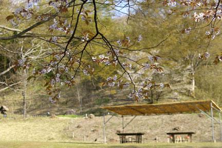 芝生広場オオヤマザクラ