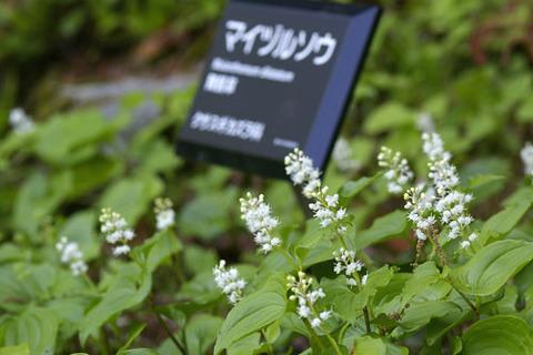 マイヅルソウ(高山区)