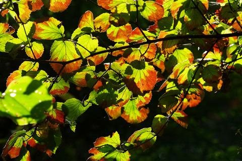 ガマズミ類紅葉