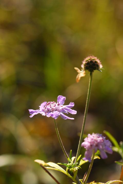 マツムシソウ花