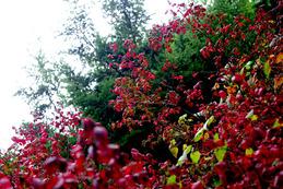 コマユミ紅葉