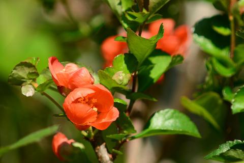 クサボケ花