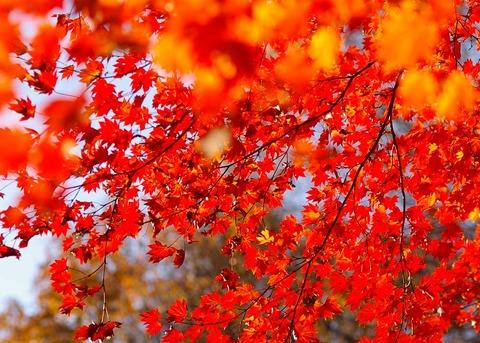 コハウチワカエデ紅葉