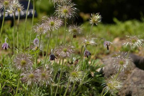 オキナグサ種子(高山区)