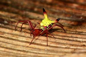 お尻がピカチュウの蜘蛛が発見され話題に(画像)