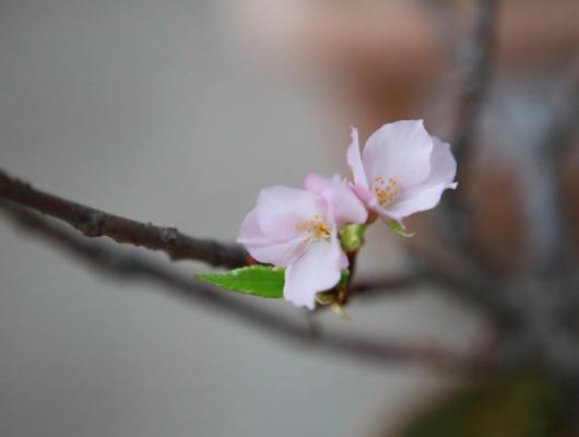 ルーちゃんの桜。