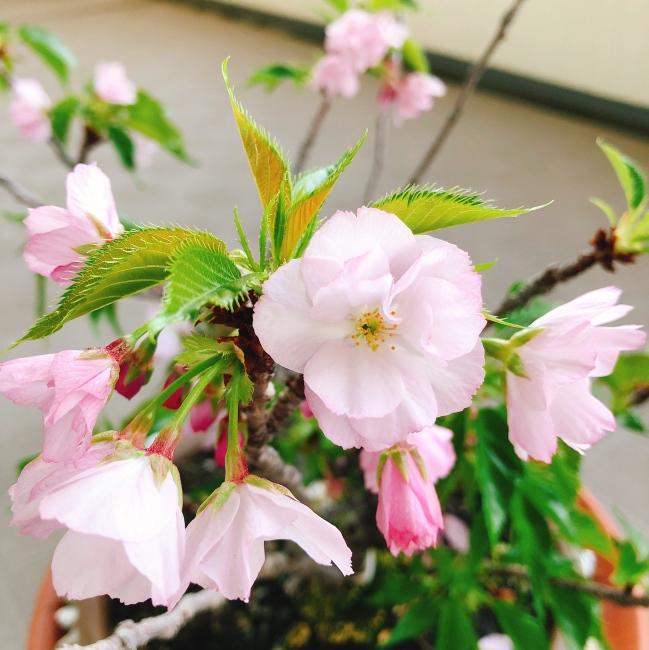 ルーちゃん、咲いてるよ。