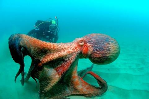 giant-octopus