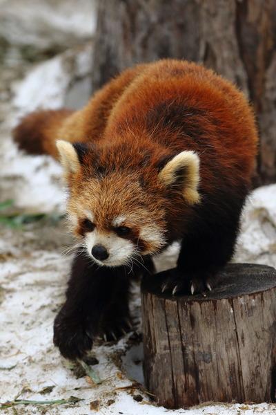 旭山動物園パンダ