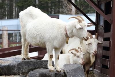 旭山動物園ヤギ