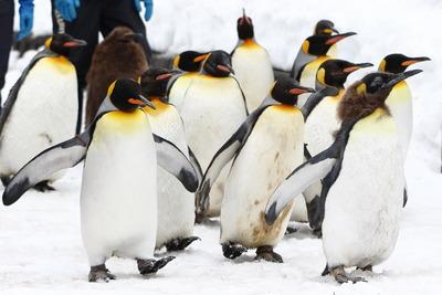 旭山動物園ペンギン2
