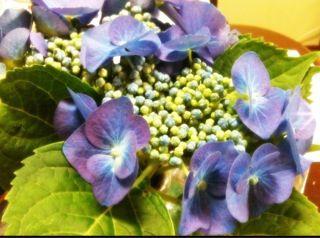 201106紫陽花