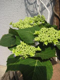 20100605紫陽花
