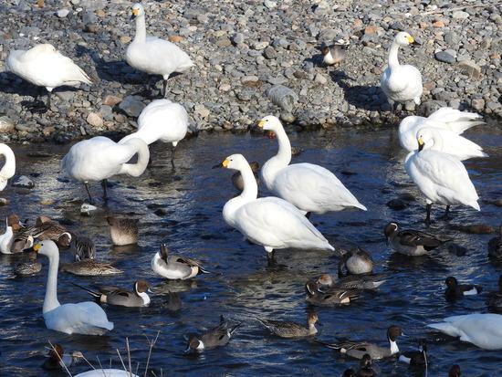 白鳥のいる湖 信州安曇野市豊科  犀川の白鳥湖