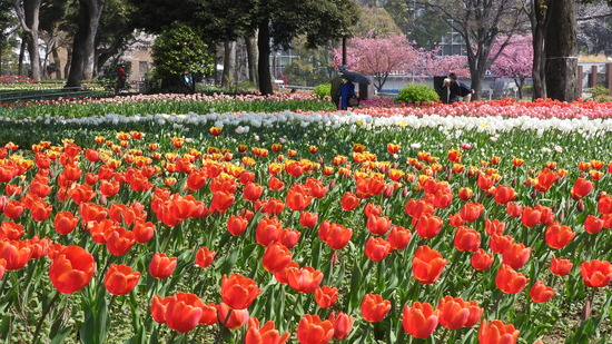 横浜公園のチューリップが咲きだした。