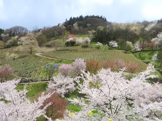 安曇野の春  池田町の桜 陸郷の山桜(桜仙峡)(リクゴウノヤマザクラ(オウセンキョウ)