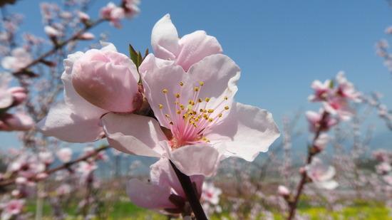 桃の花  笛吹市