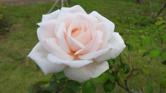 花菜ガーデン  秋薔薇