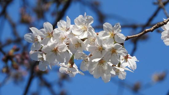 今年の桜�T