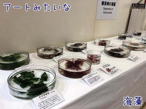 観音崎の海藻が生で展示されている様子