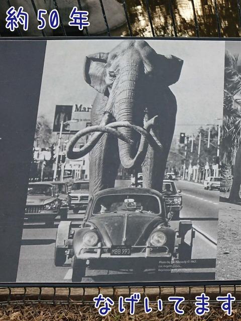 お父さんマンモスが車に乗せられて移動中の写真