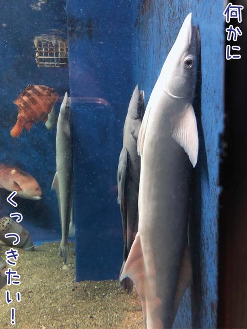 壁にくっつくコバンザメ