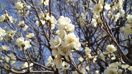 咲き始めた長峰公園の梅