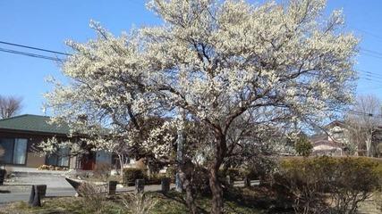 長峰公園の梅