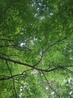 長峰公園のモミジの天井(撮影日は9月10日)
