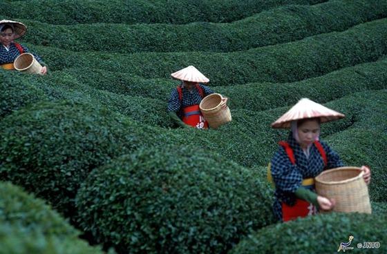 japan_tea_farm2