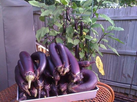 eggplant_5