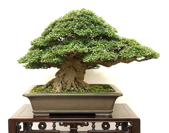 bonsai_style_4