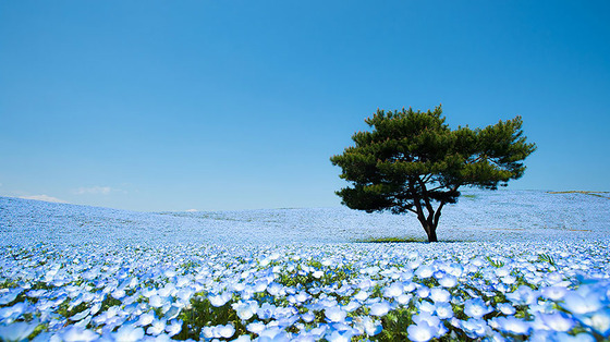 hitachi-seaside-park1