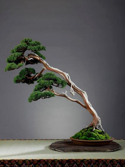 bonsai_style_5
