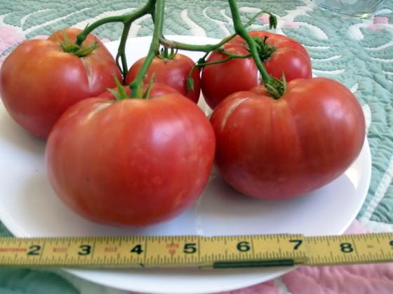 tomato_17
