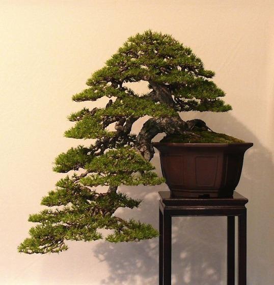 bonsai_style_1