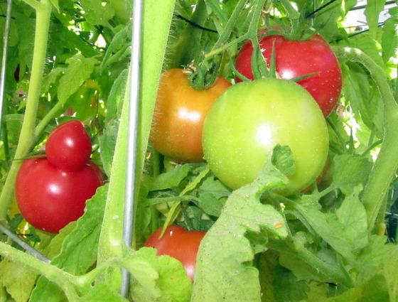 tomato_3