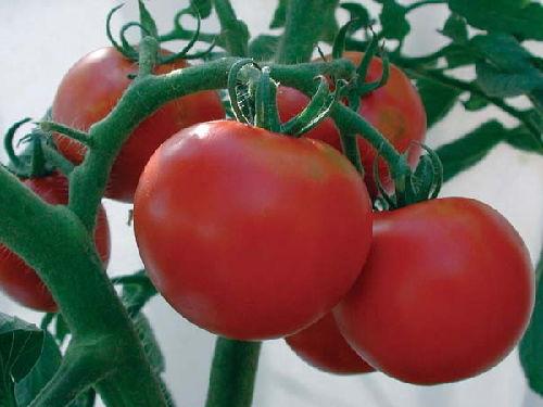 tomato_14