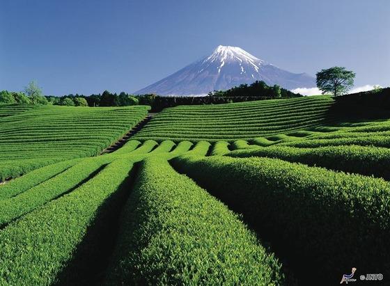 japan_tea_farm1