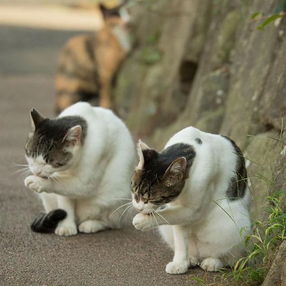 japanese_stray_cat_8