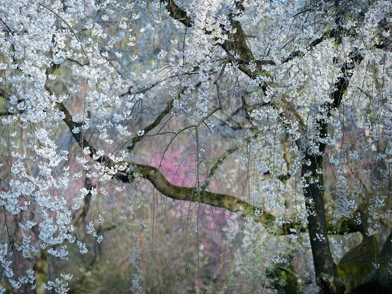 weeping-cherry-blossoms