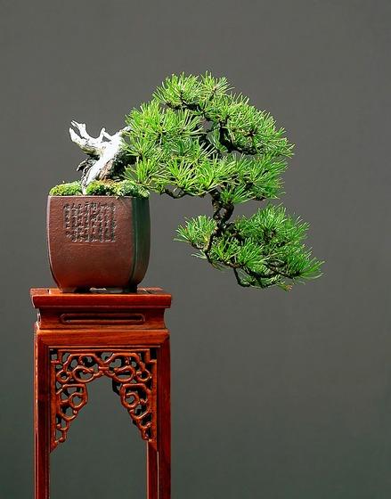 bonsai_style_6