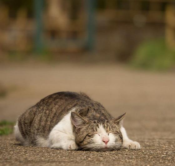 japanese_stray_cat_19