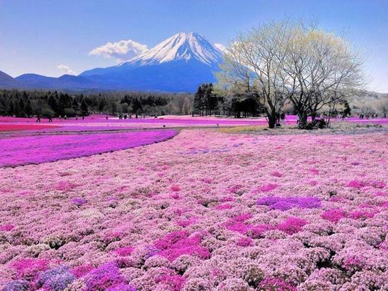 fuji_pink