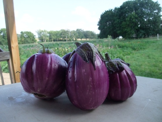 eggplant_8